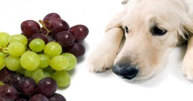Mâncare pentru câini - alimente interzise