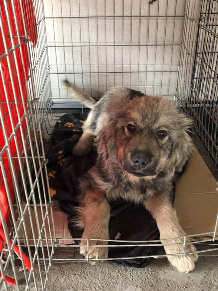 Campanie de sterilizare-Ploiești-un cățel în cușcă își așteaptă cuminte rândul
