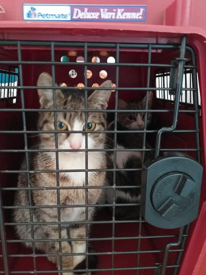 Campanie de sterilizare-Ploiești-pisici năzdrăvane stau în cușcă în sala de așteptare