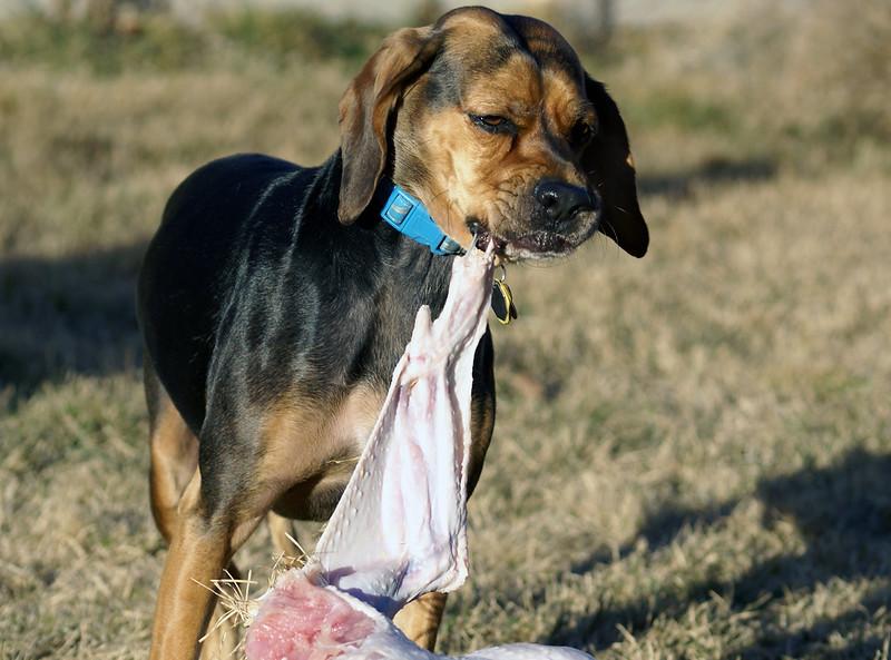 Dieta BARF- câine mănâncă carne crudă