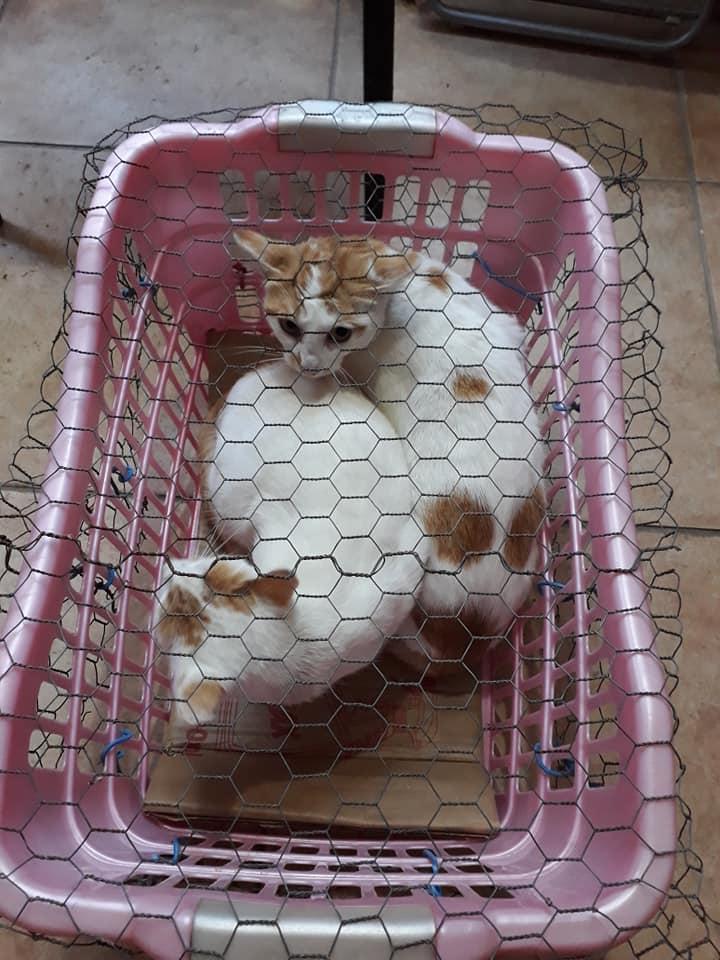 Sterilizare câini și pisici-Frumușani-pisici aduse în coș de rufe