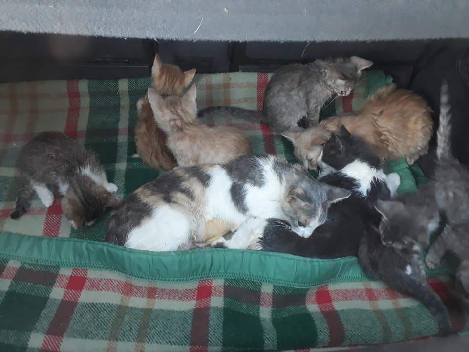 Sterilizare câini și pisici la Frumușani-pisicile se trezesc din anestezie