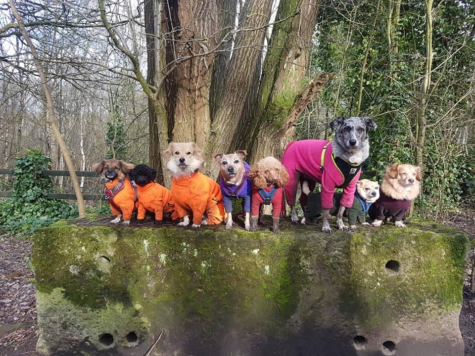 plimbare-rase-de-câini-periculoși-pitbull