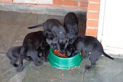 Mâncare pentru câini- pui ce se luptă pe un bol