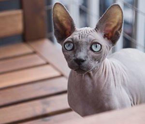 toaletarea-animalelor-rase-de-pisici