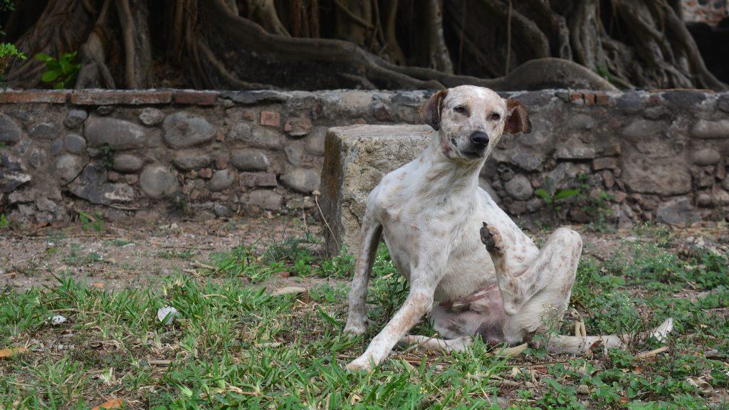 Alergii alimentare- scărpinatul câinelui, un simptom