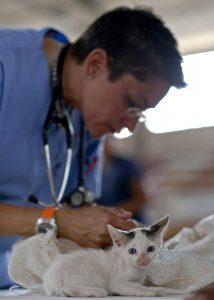 Control veterinar al unei pisici tinere