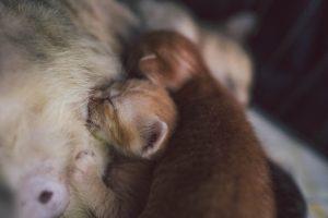 gestația-la-câini-și-pisici