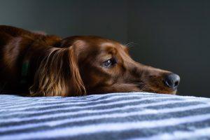 Câine în nevoie de dietă terapeutică